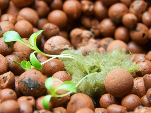 Humble Seed Romaine in a Grodan Rockwool Plug in Grow Bed #4