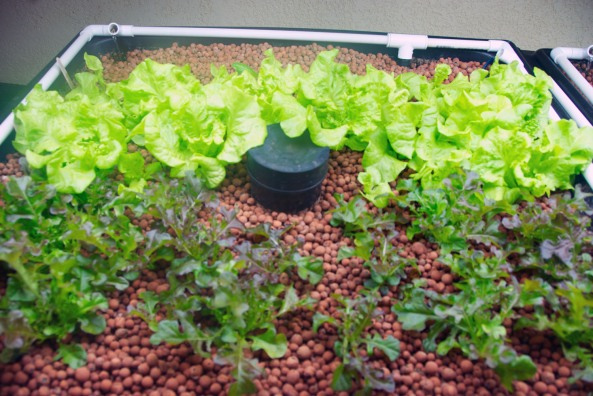 """Go to our """"Greenhouse"""" page and watch our Humble Seed Lettuce Grow"""
