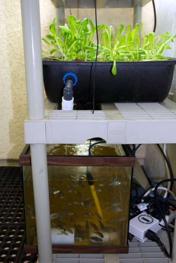 Raising baby Tilapia and Lettuce in a Mini Aquaponics System