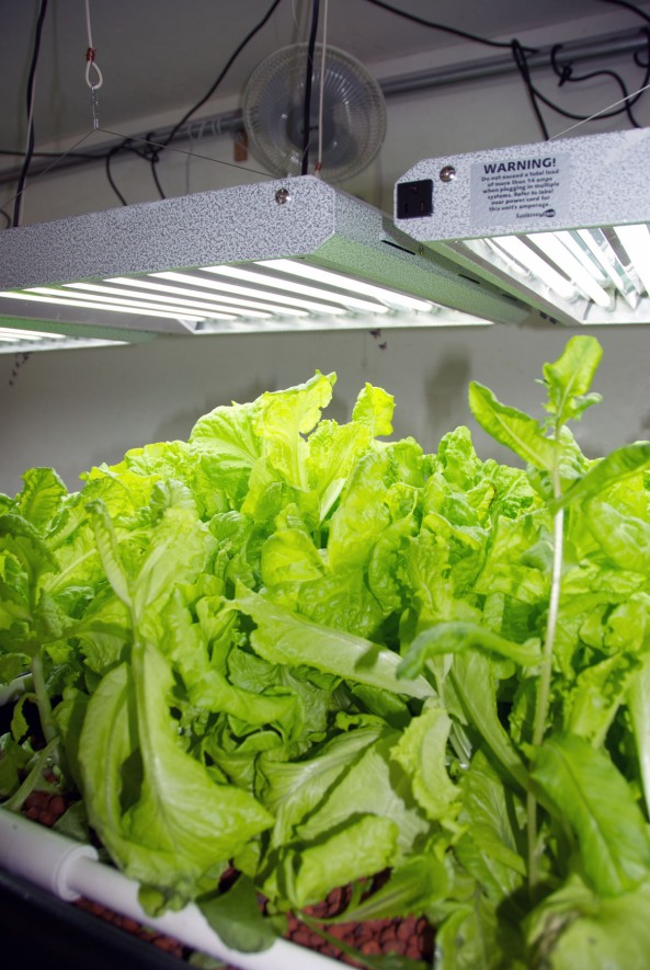 The fan you see above the grow light rotates and is helping the lettuce grow thick, strong leaves.