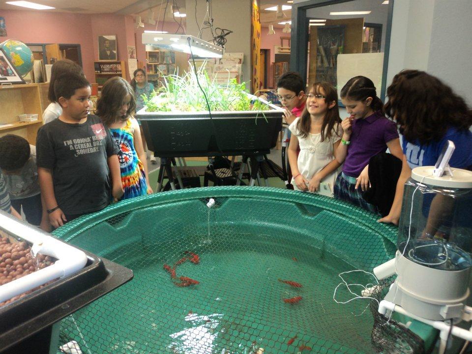 Davis Bilingual Elementary students watch their new gold fish swim in their 320 gallon Aquaponics USA tank.
