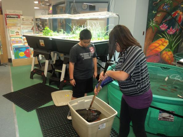 Davis Bilingual Elementary School place their gold fish into their Aquaponics USA Food Forever™ Growing Systems