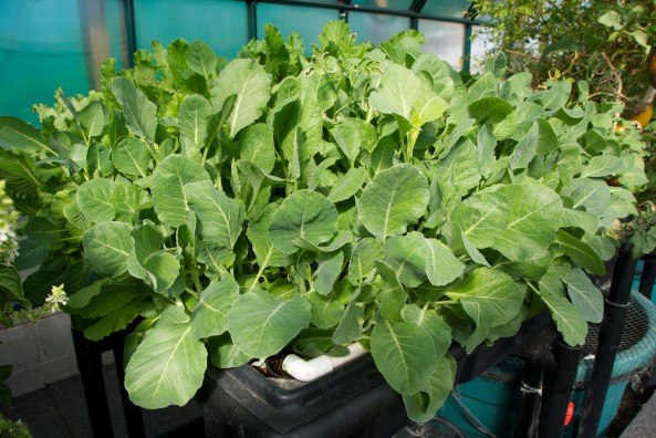 Greenhouse Spinach on the other side of the Grow Bed with the Turnip Greens