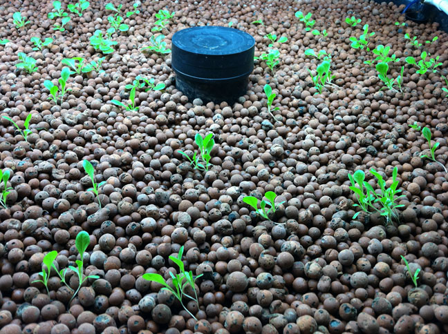 how to grow seeds for aquaponics