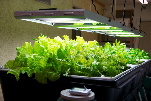 T5 Fluorescent Growing Lettuce in our Growroom