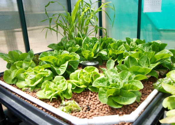 Butter Lettuce, Counter Romain and Corn in Grow Bed #5 Greenhouse