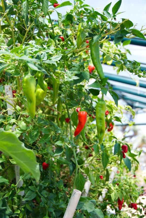 Peppers in Bed #2 Greenhouse