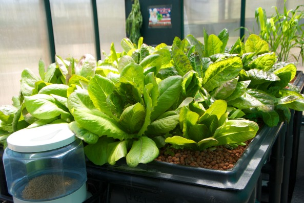 Red Romaine in Grow Bed #4 Greenhouse