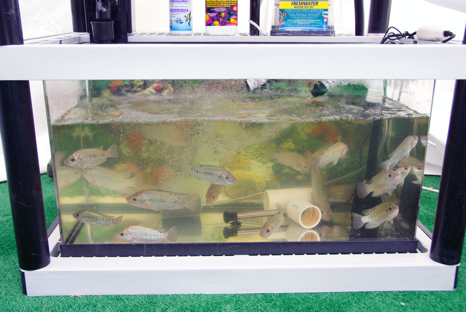 Our aquaponics usa fish and veggie road show for Toddler fish tank