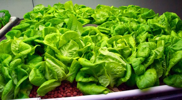 An up close look at some of the most beautiful and delicious Butter Lettuce possible.