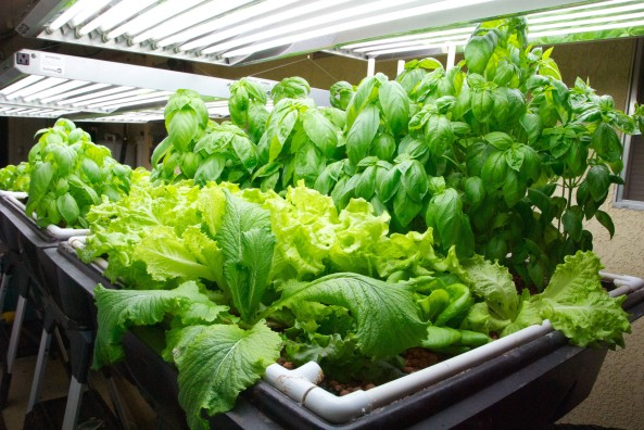 Chinese Cabbage, Black Seeded Simpson Lettuce and lots of Basil