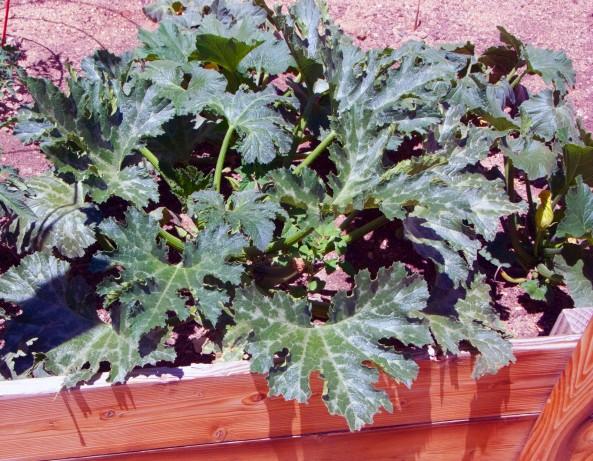 Zucchini in soil #2