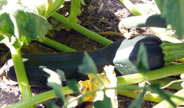 Zucchini in soil #3