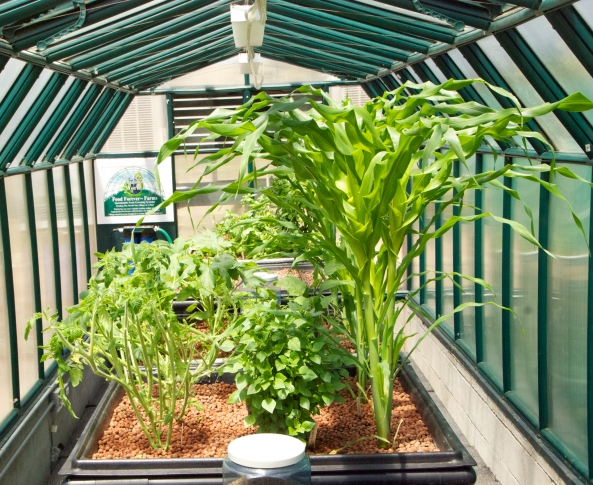 Queen Corn and their lady in waiting, Greek Basil.