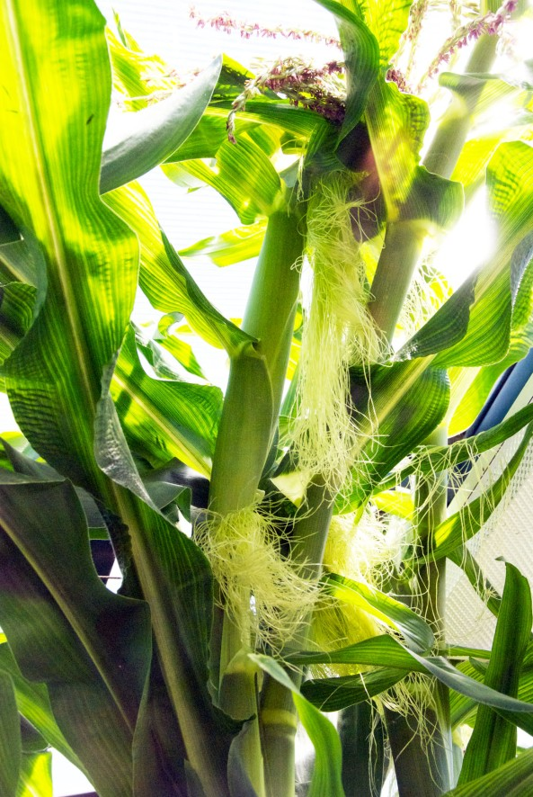 The Corn Silk is beautiful and long. It's the female part of the flower of the corn