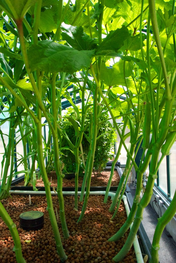 Welcome to our jungle canopy with Okra on one side of the Grow Beds and Corn on the other.
