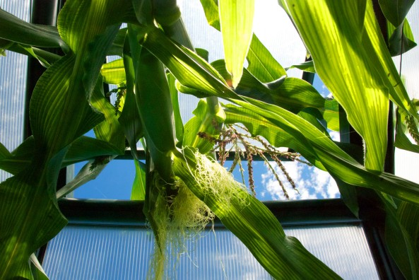 This stalk is going to prove once and for all if we can actually get cobs of corn as it's not being stopped by the roof. For this stalk, the sky is the limit.
